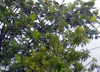 Breadfruit on the Tree in Dominica