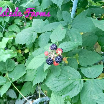 berry picking, #TravelTuesday, black raspberries